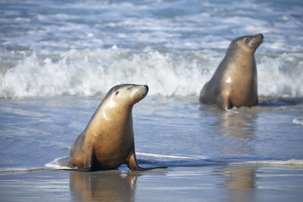 Stock Photo Australian Sea Lions Neophoca Cinerea Seal Bay Conservation Park Kangaroo Island