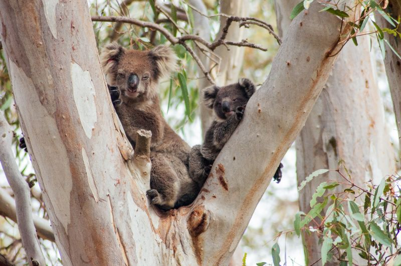 Two Koalas in tree