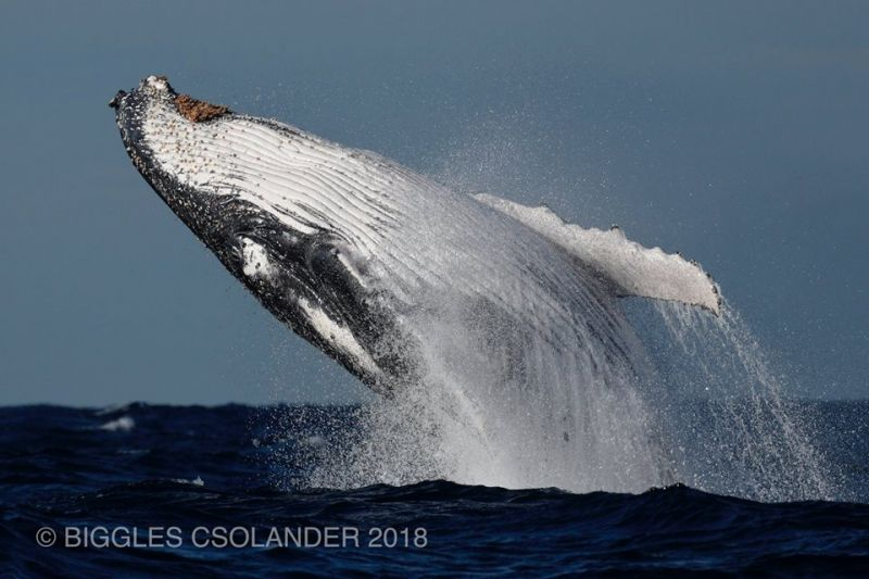 Blog 160618 - Humpbacks 07