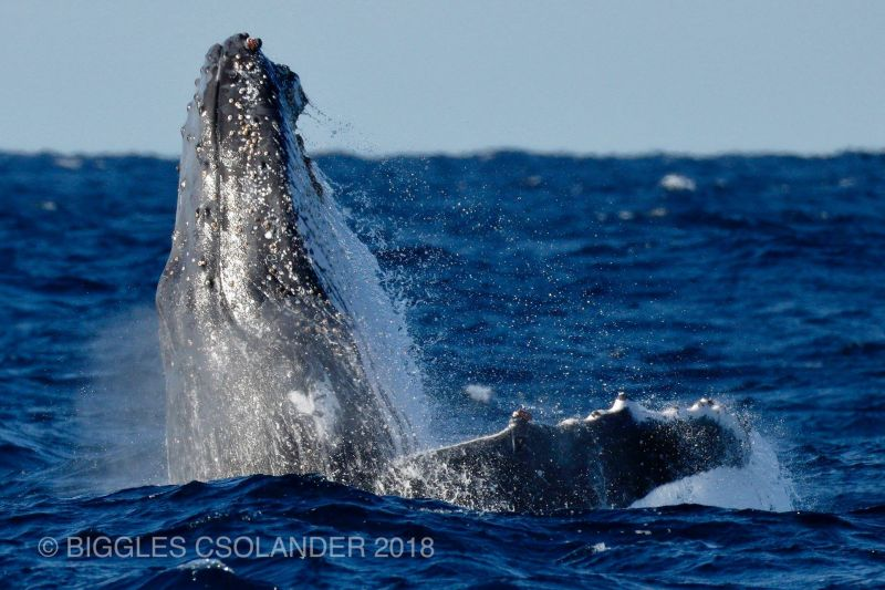 Blog 160618 - Humpbacks 10
