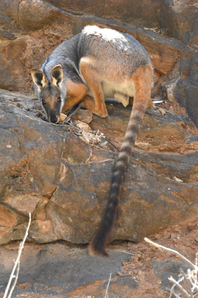 Species Feature: Yellow-footed Rock Wallaby