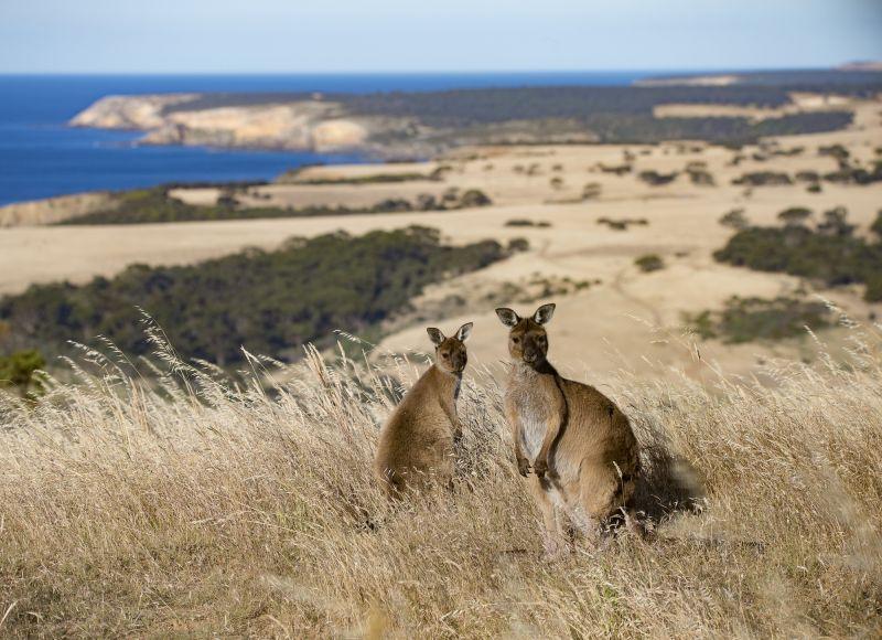 Species Feature: Kangaroo Island Kangaroo 02