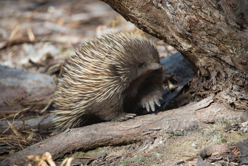 Short-beaked Echidna | Exceptional Kangaroo Island