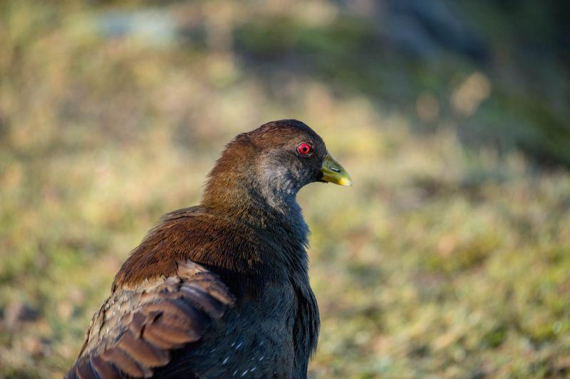 Tasmanian Native Hen Blog 01