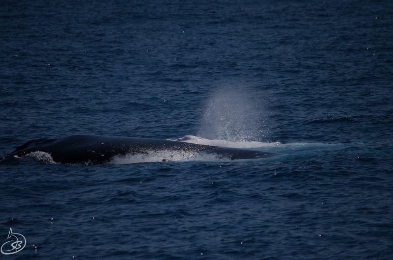 Albino Whale Blog 03