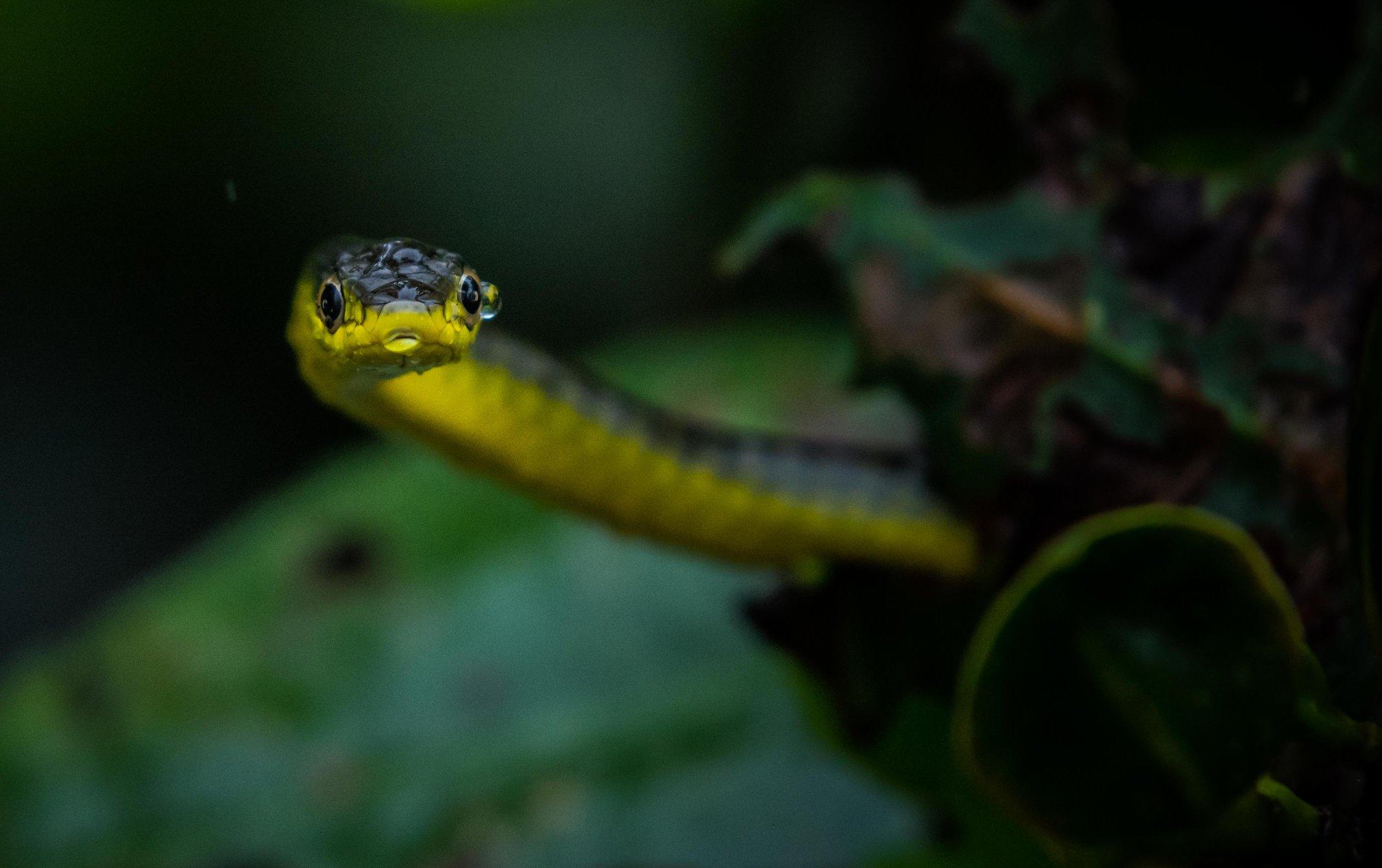 Australian Tree Snake
