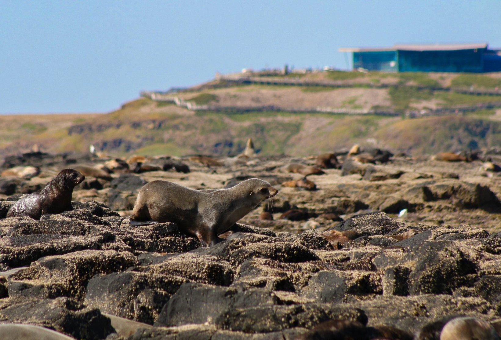 Australian Fur-seals