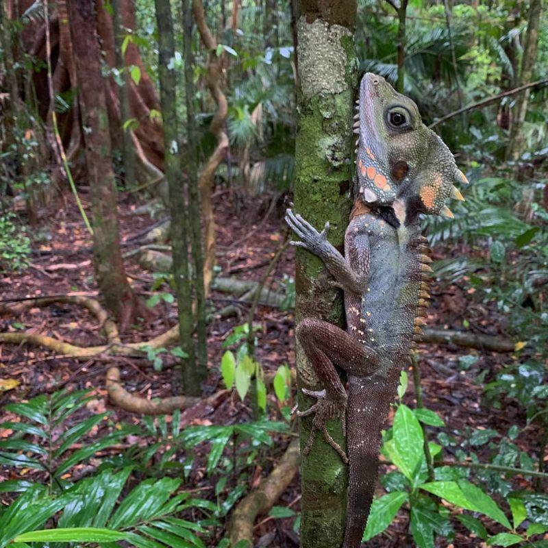 Boyd's Forest Dragon - Feb post