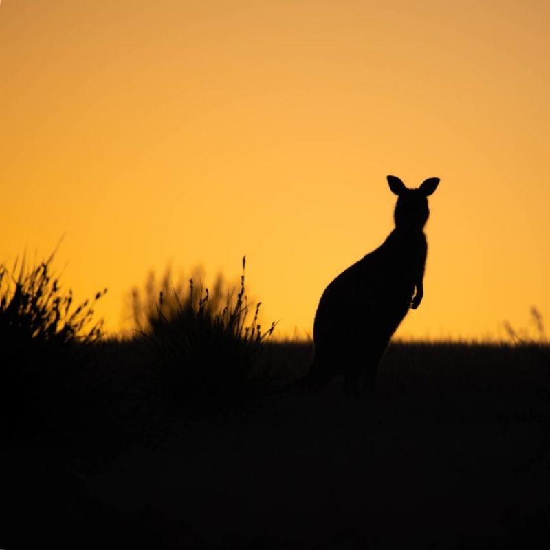 KI Kangaroo at Sunset