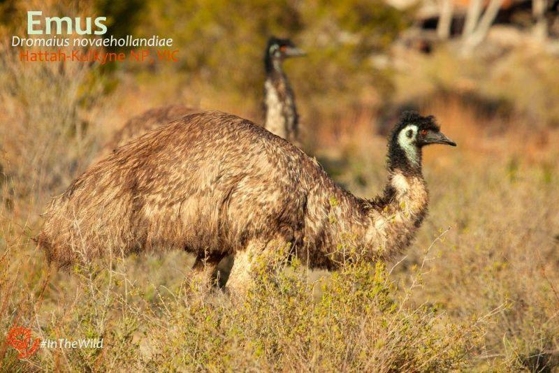 Emu-Febpost