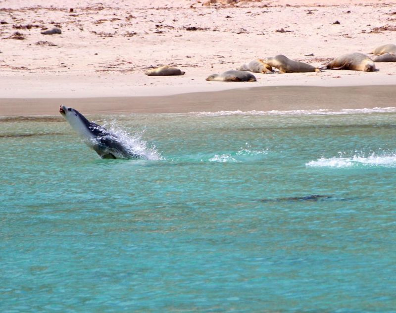 Australian Sea-lion jumping