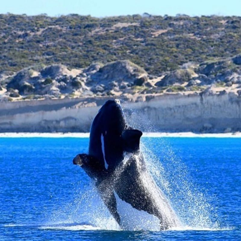 Southern Right Whale - July blog