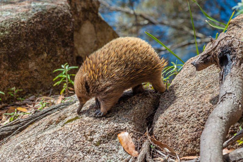 Short-beaked Echidna | Premier Travel Tasmania