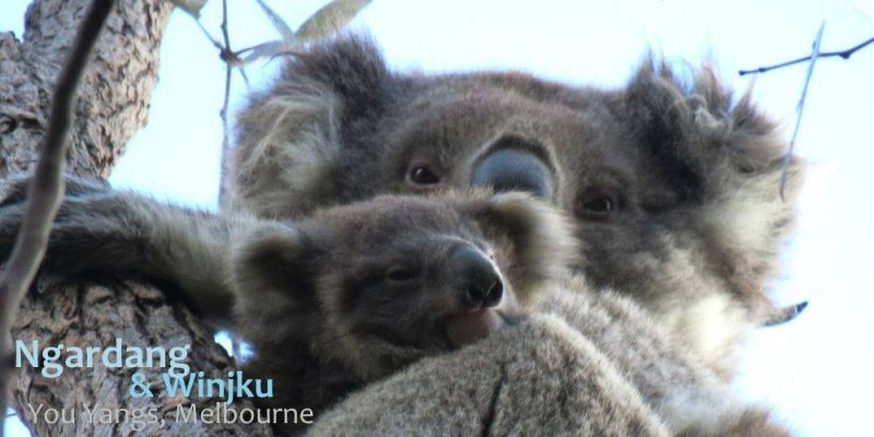 SeptemberBlog_Koala