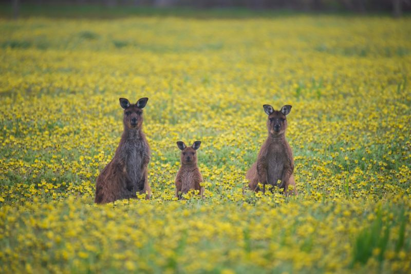 SeptemberBlog_Kangaroo