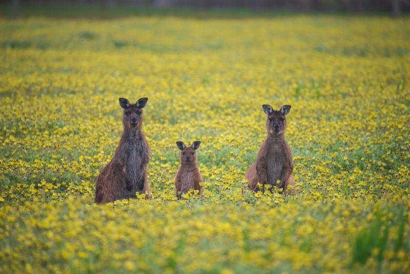 SeptemberBlog_Kangaroo