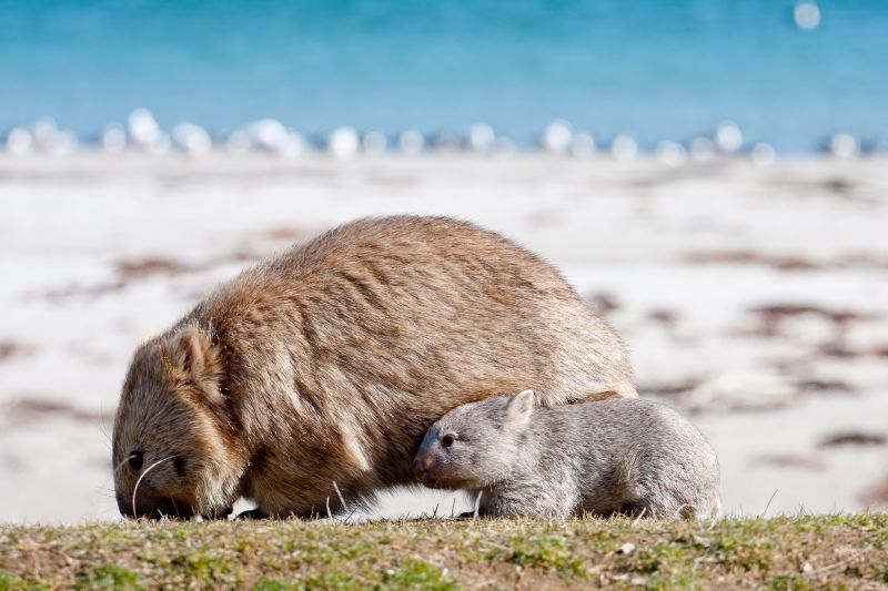 SeptemberBlog_Wombat