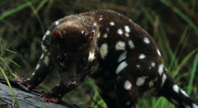 Behind the Scenes with Researchers: Quolls Hero 01