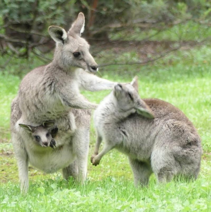 Kangaroos-October19Blog
