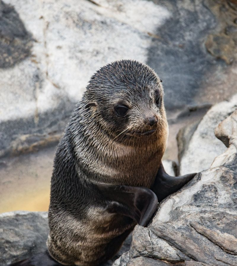 LongNosedFurSeal-October19Blog