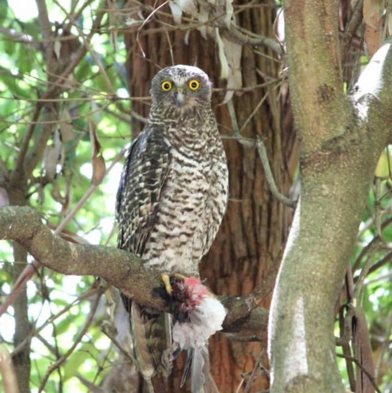Powerful Owl - November blog