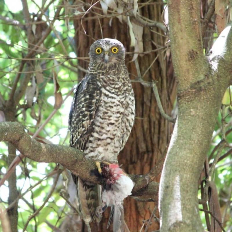 Powerful Owl - November blog