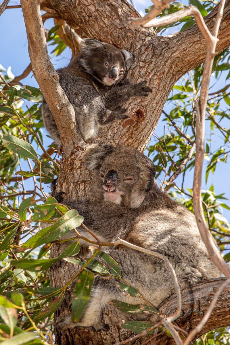 Koala and joey - November blog