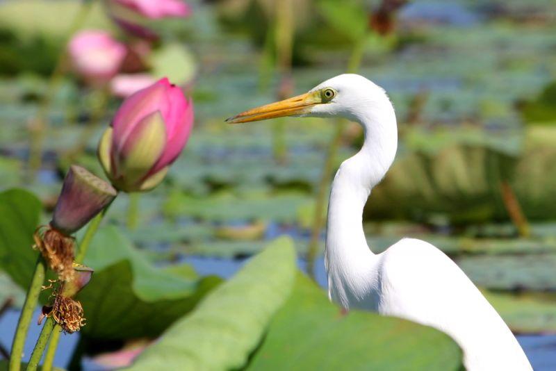 Intermediate Egret FNQ
