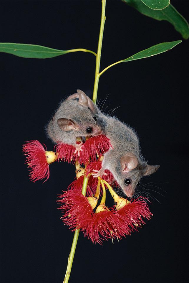 Little Pygmy Possum - The Maria Island Walk