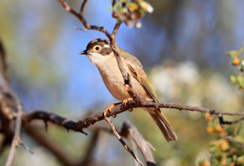 Eyre Birding - Hero 04