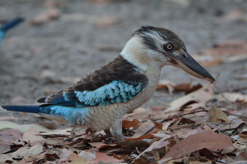 Kakadu Birding - Spring 04