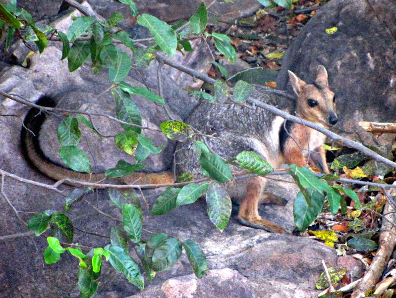 Kakadu Land Mammals - Spring 02
