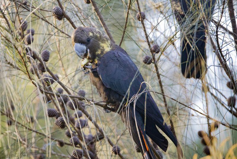 Kangaroo Island Bird - Autumn 03
