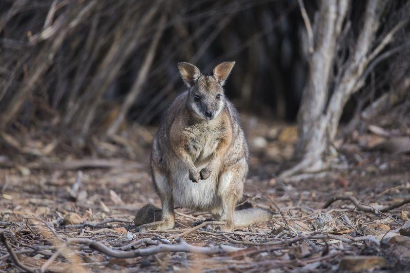 Kangaroo Island Land Mammals - Autumn 04