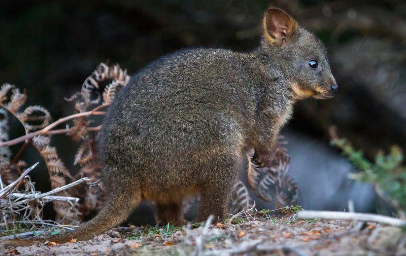 Maria Island Land Mammals - Summer 01