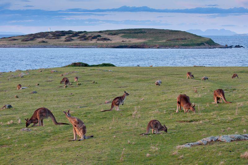 Maria Island Land Mammals - Autumn 02