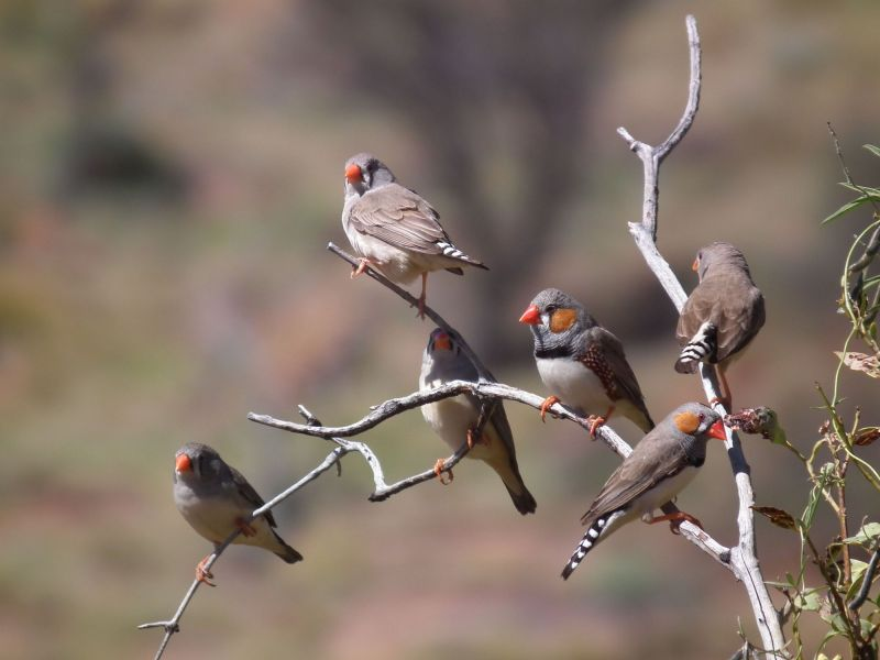 Uluru Birding - Summer 01
