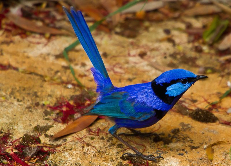 Australia S Top 10 Most Beautifully Coloured Birds Australian Wildlife Journeys