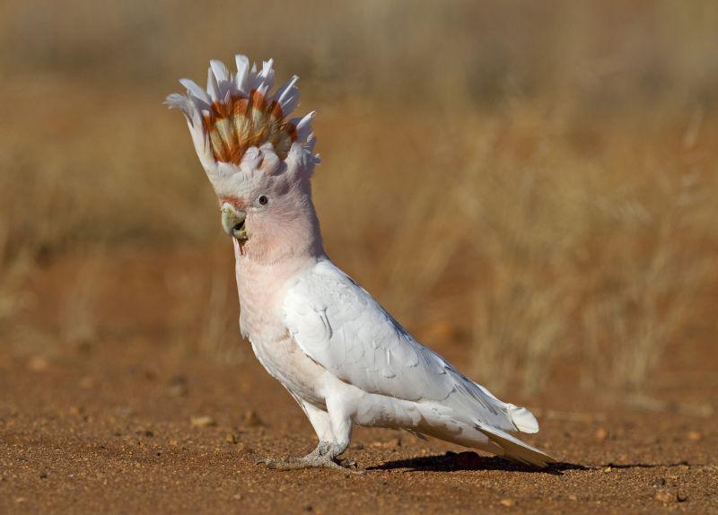 Uluru Birding - Spring 03