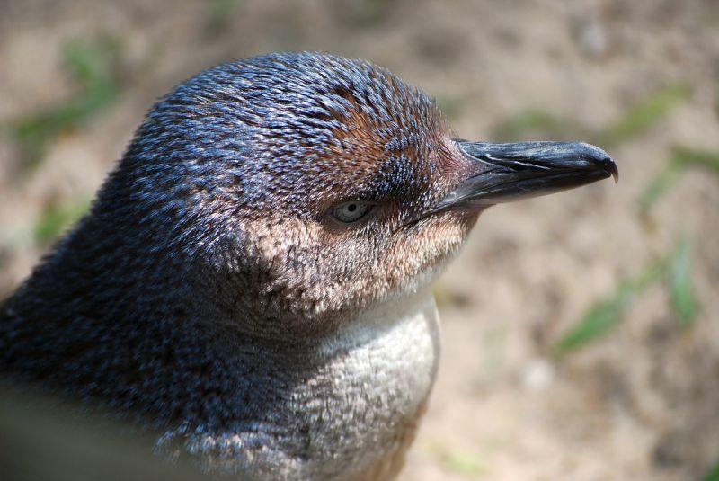 Tasmania Birding - Summer 02