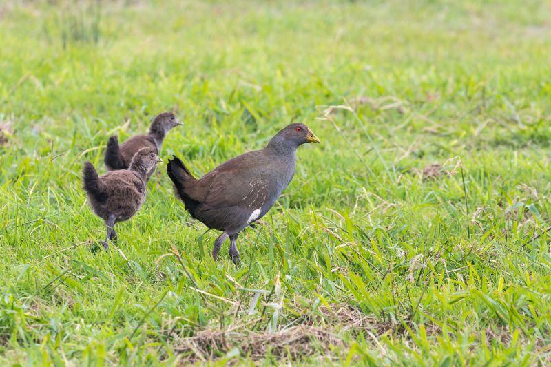Tasmania Birding - Winter 02