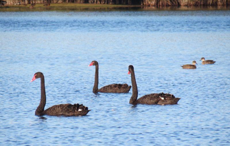 Tasmania Birding - Winter 04