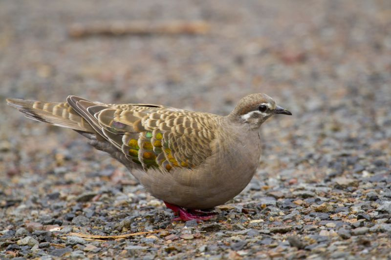 Eyre Peninsula Birding - Summer 02