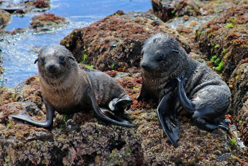 Phillip Island Marine Mammals - Autumn 03