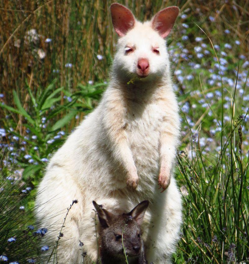 Tasmania Land Mammals Spring 01