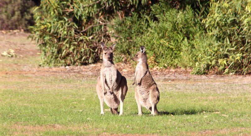 Blog 01 - Kangaroos