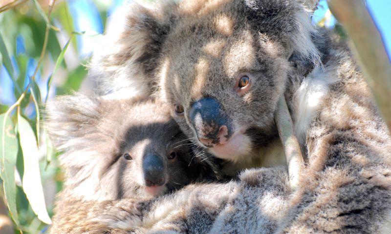 Goin Off - Blog 01 Koala
