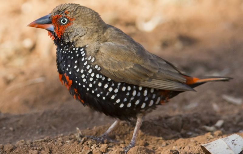 Blog 01 - Painted Finch